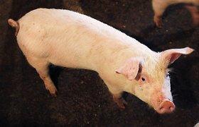 Afrikinis kiaulių maras toliau plinta: židiniai Šiaulių ir Prienų rajonuose