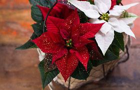 Neskubėkite išmesti Kalėdų gėlės – puansetijos: kaip prižiūrėti, kad ji džiugintų ir kitais metais?