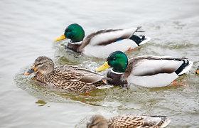 Europoje siaučiant paukščių gripui, VMVT įspėja dėl augančios rizikos naminiams paukščiams