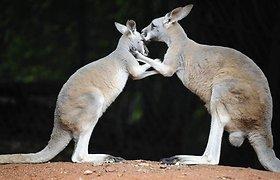 Mažiausiai 20 kengūrų suvažinėjęs australas išvengė kalėjimo