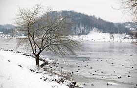 Žiemoti neišskridę paukščiai buriasi Nemuno pakrantėje Kaune