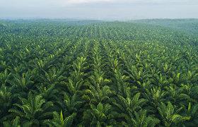 JAV uždraudė dar vienos Malaizijos gamintojos palmių aliejaus importą