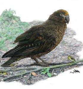 Naujojoje Zelandijoje kadaise gyveno daugiau nei pusės žmogaus ūgio papūgos