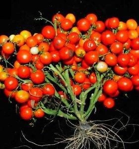 Nauji genetiškai modifikuoti pomidorai tiktų auginti ir mieste, ir net kosmose