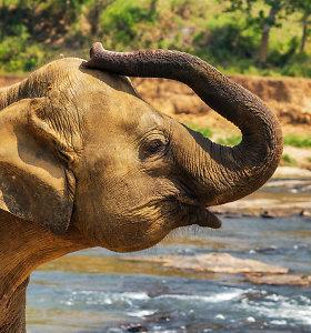 Danija išleis į užtarnautą poilsį savo paskutiniuosius keturis cirko dramblius
