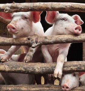 Kiaulių supirkimo kainos augo ketvirtadaliu
