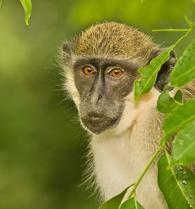 Beždžionių tyrimai parodė: patinai į mūšio priešakinę liniją traukia dėl patelių