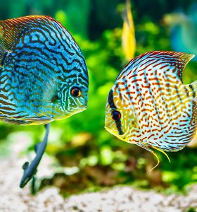 Šiemet planuojama įveisti 8 mln. įvairių rūšių žuvų