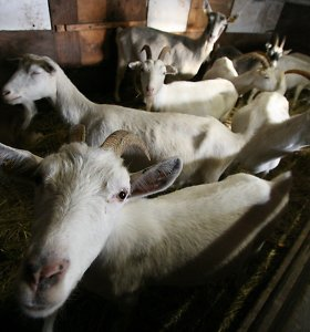 Mirusias kopas prižiūrės ožkos