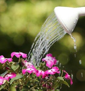 Kaip per karščius laistyti augalus, kad jiems nepakenktume?