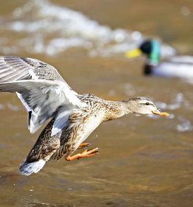 Selemonas Paltanavičius: vandens paukščių dabar lesinti jokiu būdu negalima