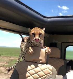 Afrikoje per safarį į turistų visureigį įšoko gepardas