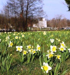 Druskininkai kviečia į Narcizų žydėjimo šventę