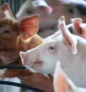 Kokios paramos gali tikėtis kiaulių augintojai?