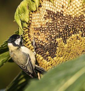 Paukščius vilioja saulėgrąžos