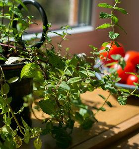 Prieskoninių žolelių darželis ant palangės: ką auginti?