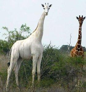 Kenijoje brakonieriai sumedžiojo itin retas baltąsias žirafas
