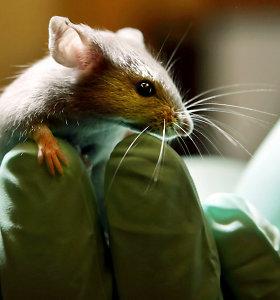 Jaunystės eliksyras: peles veikia fantastiškai, laukia tyrimai su žmonėmis