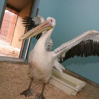 Pelikanas