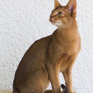 Abisinijos katė