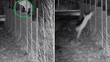 Pasieniečių kameros užfiksavo unikalų vaizdą: retai Lietuvoje sutinkama lūšis atliko įspūdingą šuolį