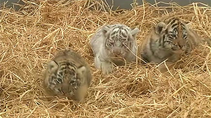 Peru zoologijos sodo lankytojus džiugina trys tigro jauniklės