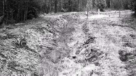Lietuvos pasienyje nufilmuota vilkų gauja