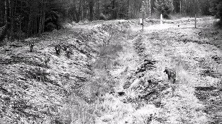 Pasieniečių kameros užfiksavo retą vaizdą – vilkų gaujos šokį