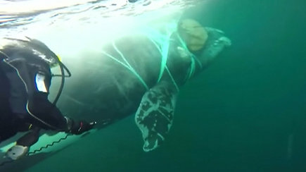 Akimirka, nepaliekanti abejingų: tinkle įstrigusį banginį išgelbėjo karinės jūrų pajėgos