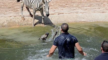 Visus nudžiuginęs zebro jauniklės gimimas vos nesibaigė tragedija
