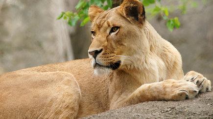 Zoologijos sode liūtė mirtinai sužalojo savo trijų jauniklių tėvą