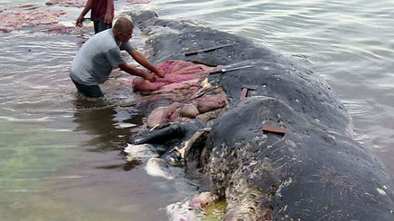 Siaubingas radinys: į krantą išplauto negyvo kašaloto skrandyje – 6 kg plastiko