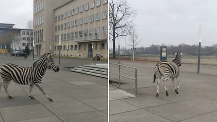 Vokietijoje užfiksuotas labai neįprastas vaizdelis – gatvėse lakstė iš cirko pabėgę zebrai