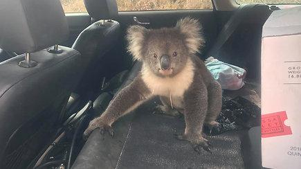 Vyro automobilį okupavęs nelauktas svečias pridarė žalos – įsmukusi koala slėpėsi nuo karščio