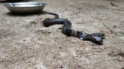 Sąmyšį sukėlė nuodingas svečias: gyventojai itin retos dvigalvės gyvatės nenorėjo atiduoti