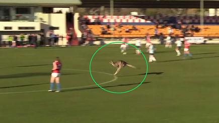 Kurioziškos futbolo rungtynės: išbėgusi į aikštę kengūra tapo žaidimo žvaigžde