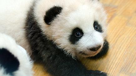 Širdį pavergia miela tinginystė: pandų mažyliai dienas leidžia miegodami ir valgydami