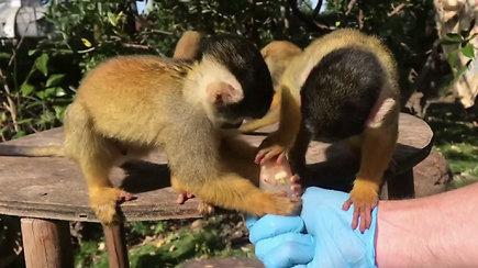 Beždžionės poilsiauja laižydamos ledus – ruošiasi filmuotis dokumentikoje apie koronaviruso padarinius