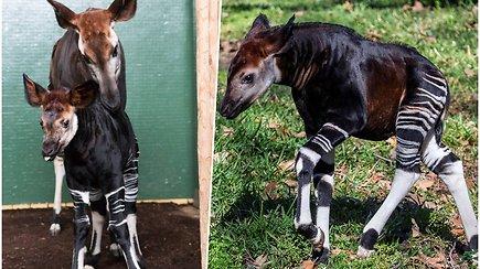 Tokių progų pasitaiko itin retai: zoologijos sode gimė nykstantis gyvūnas – nei zebras, nei žirafa