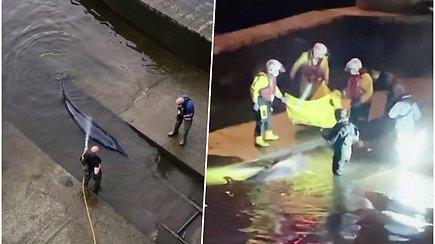 Neeilinė operacija naktį: gelbėtojams teko laisvinti Temzėje įstrigusį banginio jauniklį