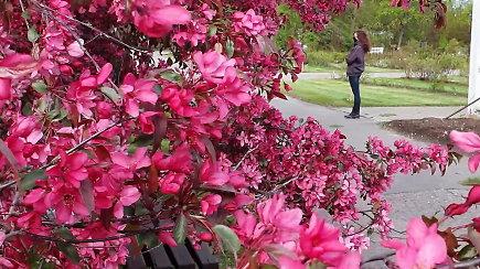 Atgaiva akims: VDU Botanikos sode prasidėjo žydėjimas