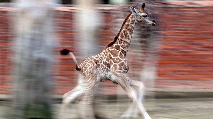 Ypatingai retas gyventojas džiugina lankytojų akį: laukinėje gamtoje jų skaičius sparčiai mažėja