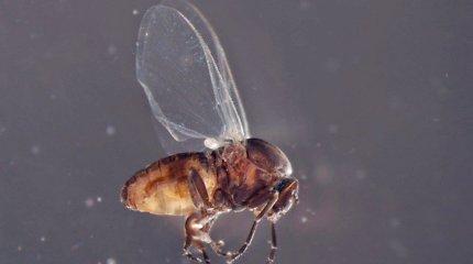 Alytus skyrė lėšų kraujasiurbių vabzdžių lervutėms Nemune naikinti