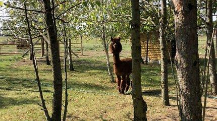 """Konkurso """"Mano kiemas"""" dalyvės Genovaitės sodyboje Linkuvoje gyvena alpakos ir povai"""