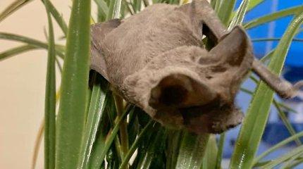 Kaunietę išgąsdino netikėtas namų svečias – šikšnosparnis. Specialisto komentaras