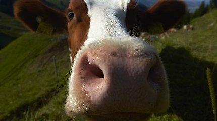 """Ruskių kaime kelių erelio kelionę nutraukė karvė: gyvulys nugaišo, """"Seat"""" vairuotojas sulaikytas"""