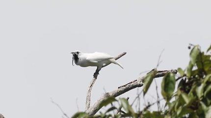 Įrašytas garsiausias pasaulyje paukščio klyksmas