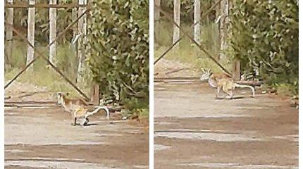 Riešės apylinkėse žmonės pastebėjo į kengūrą panašų gyvūną: išgąsdintas dujininkų spruko į mišką