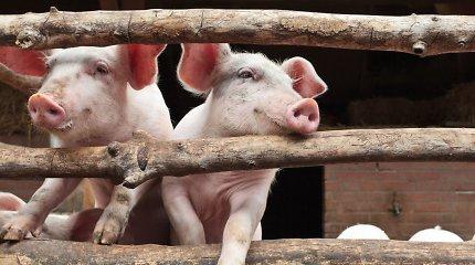 Karaliaučiaus srityje dėl AKM protrūkio bus sunaikinta beveik 43 tūkst. kiaulių