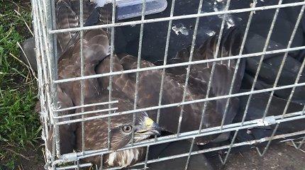 Aplinkosaugininkai perspėja: gelbėdami sužeistą gyvūną galite užsidirbti baudą